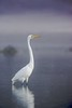 great egret in dreamy morning light